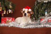 Cute lying Jack russell terrier with Santa hat in a christmas — Stock fotografie