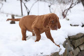 Puppy of Hungarian Short-haired Pointing Dog in winter — Stock Photo