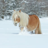Amazing haflinger running in the snow — Stok fotoğraf