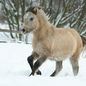 Adorable and cute bay pony running in winter — Stockfoto