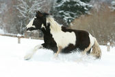 Amazing young irish cob running in winte — Stock Photo