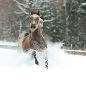 Two arabian horses running together in the snow — Stock Photo