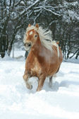 Haflinger with long mane running in the snow — Stock Photo