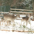 Herd of deer together in winter — Stock Photo