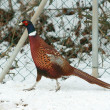 Stock Photo: Ringneck Pheasant walking on snow in winter