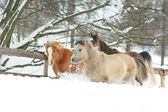 Horses running in the lot of snow in winter — Stock Photo