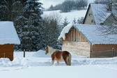 Horse looking on stable in winter — Stock Photo
