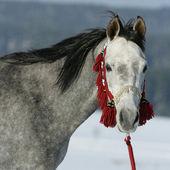 Nice arabian horse with beautiful show halter — Stock Photo