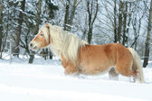 Nice haflinger with long mane running in the snow — Stock Photo