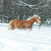 Beautiful haflinger with long mane running in the snow — Stockfoto