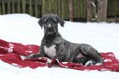 Nice Irish Wolfhound lying on blanket in winter — Stock Photo