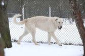 Amazing Irish Wolfhound running in winter — Stock Photo