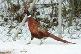 Ringneck Pheasant walking on the snow in winter — Stock Photo
