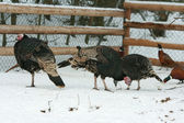 Turkey with pheasant on the barnyard in winter — Stock Photo