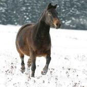 Bonito cavalo castanho, executando no inverno — Foto Stock