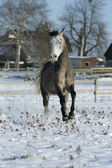 Beautiful arabian horse running in winter — Stockfoto