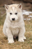 Alaskan Malamute puppy in front of some snow — Stock fotografie