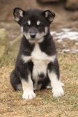 Alaskan Malamute puppy in front of some snow — Stock Photo