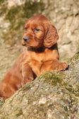Cucciolo di setter irlandese di rosso in natura — Foto Stock
