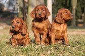 Irish Red Setter Puppies in nature — Stock Photo