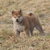 Amazing funny Shiba inu puppy — Zdjęcie stockowe