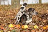 Cane di louisiana catahoula con adorabile cucciolo in autunno — Foto Stock