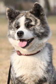 Portrait of beautiful Akita Inu — Stock Photo