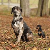 Louisiana Catahoula dog with adorable puppy in autumn — Stock Photo
