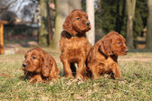 Irish Red Setter Puppies in nature — Stock Photo