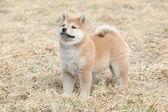 Amazing funny Shiba inu puppy — Foto de Stock