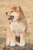 Amazing funny Shiba inu puppy — Stock Photo