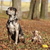 Louisiana catahoula dog s roztomilé štěně na podzim — Stock fotografie