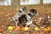 Louisiana Catahoula dog with adorable puppies in autumn — Stockfoto