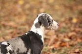 çok güzel louisiana catahoula köpek yavrusu — Zdjęcie stockowe