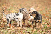 Adorable Louisiana Catahoula puppies playing — Foto Stock