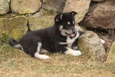 Puppy of Alaskan Malamute in spring — Stockfoto