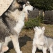 Stock Photo: Alaskmalamute parent with puppy