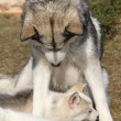 Alaskmalamute parent with puppy — Stock Photo #39677839