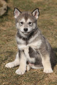 Puppy of Alaskan Malamute in spring — Foto de Stock