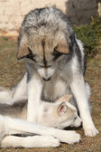 Alaskan malamute parent with puppy — Stock fotografie