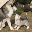 Alaskmalamute parent with puppy — Stock Photo #39686303