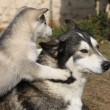 Stock Photo: Alaskmalamute parent with puppies