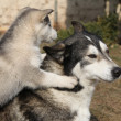 Alaskmalamute parent with puppies — Stock Photo #39686349