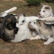 Alaskmalamute parent with puppies — Stock Photo #39686391