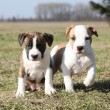 Two nice little puppies of American Staffordshire Terrier togeth — Stock Photo #39687389