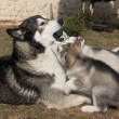 Alaskmalamute parent with puppies — Stock Photo #39687913