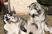 子犬を持つアラスカンマラミュート親 — ストック写真