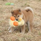 удивительные смешные шиба ину щенок — Стоковое фото
