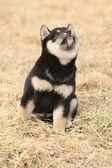 Hermosos cachorros de shiba inu — Foto de Stock