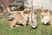 Group of Scotch Collie puppies playing outside — Stock Photo
